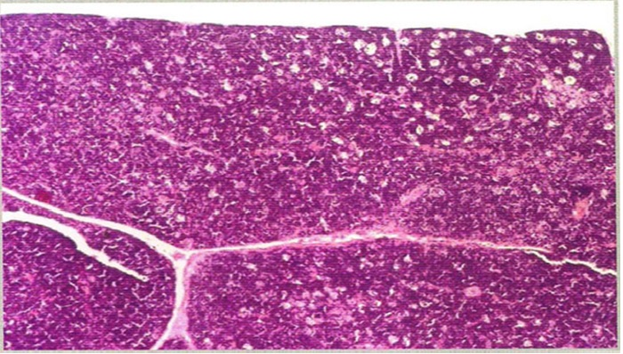 T.S. of thymus of control rat showing normal histoarchitecture. H/E Stain, X-100