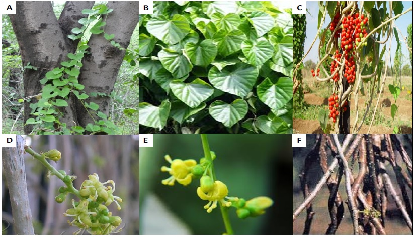Morphology of different parts of T. cordifolia A. Stem, B. Leaf, C. Fruit, D. Inflorescence, E. Flower, F. Aerial Roots