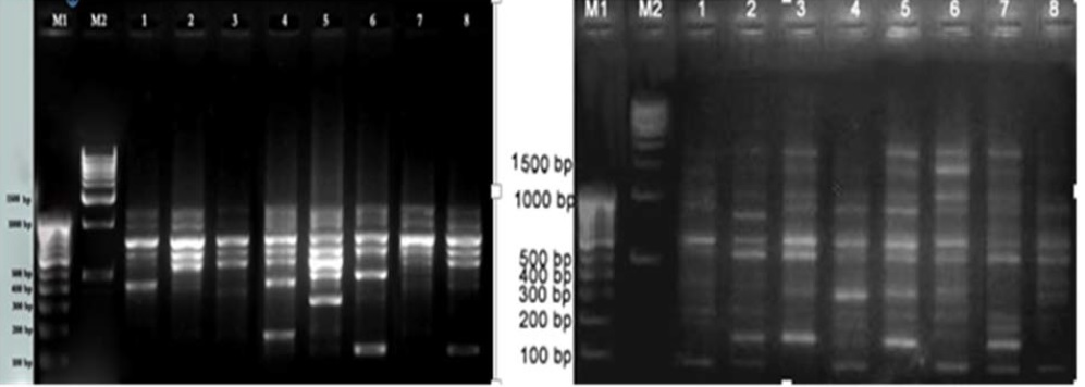 RAPD profile of varieties for RAPD primers OPB 10 and OPB 8.
