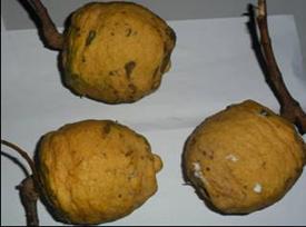 Fruits of Saba comorensis