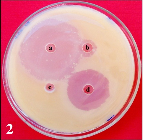 Effect of culture filtrates of endophytic fungi from Butea monosperma on growth of Cryptococcus neoformans.  a- 10 µg of fluconazole, b- Culture filtrate of Morphotype-1 (BM 56), c- Culture filtrate of Aspergillus fumigatus (BM 6), d- Culture filtrate of Fusarium solani (BM 2).