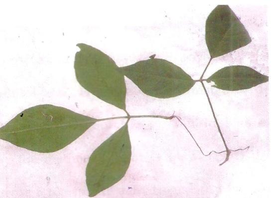 Experimental plant (Aegle marmelos)