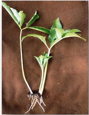 Amorphophallus campanulatus (Roxb)