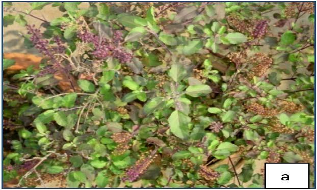 Complete plant Ocimum sanctum