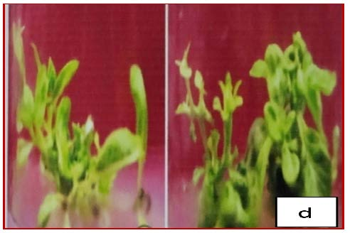 Shoot elongation and multiplication of O. sanctum on MS medium supplemented with BA (1.0 mg/l) and IAA (0.5 mg/l) after first subculture