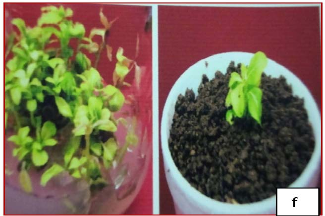Regenerated plants of O. sanctum maintained in green house on a potting mixture of 2:1 of compost and soil.