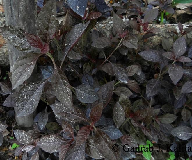 Amarantus bicolour