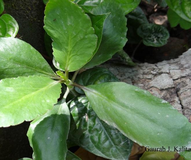 Bryophyllum calycinum