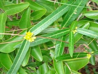Hemidesmus indicus R.Br.