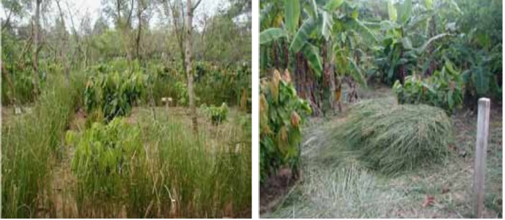 Vetiver controls erosion and its mulch suppresses weeds in coffee plantation