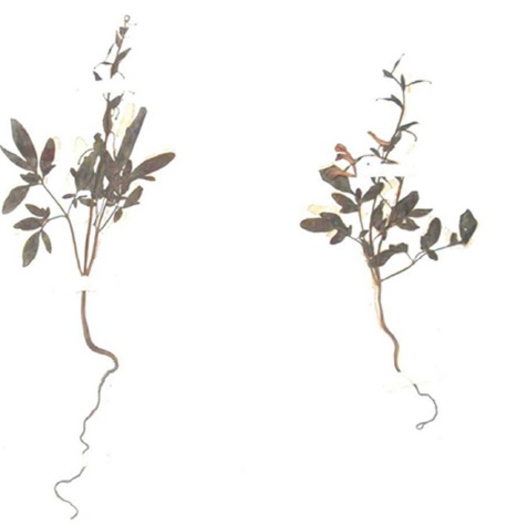 Plate: Corydalis diphylla Wall: Flowering and fruiting plant