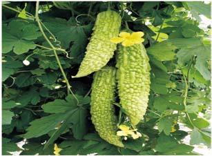 Momordica charantia Plant