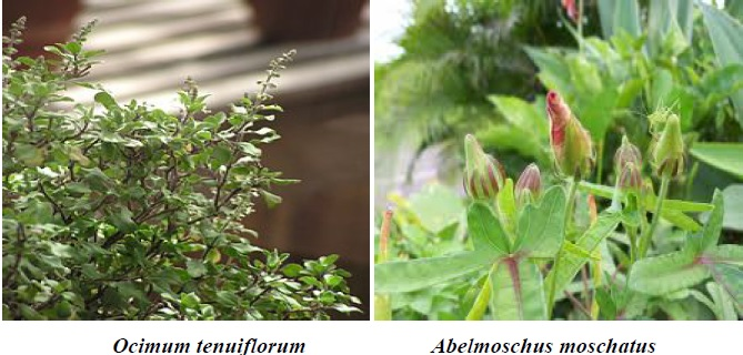 The most common medicinal, aromatic plants from review area.
