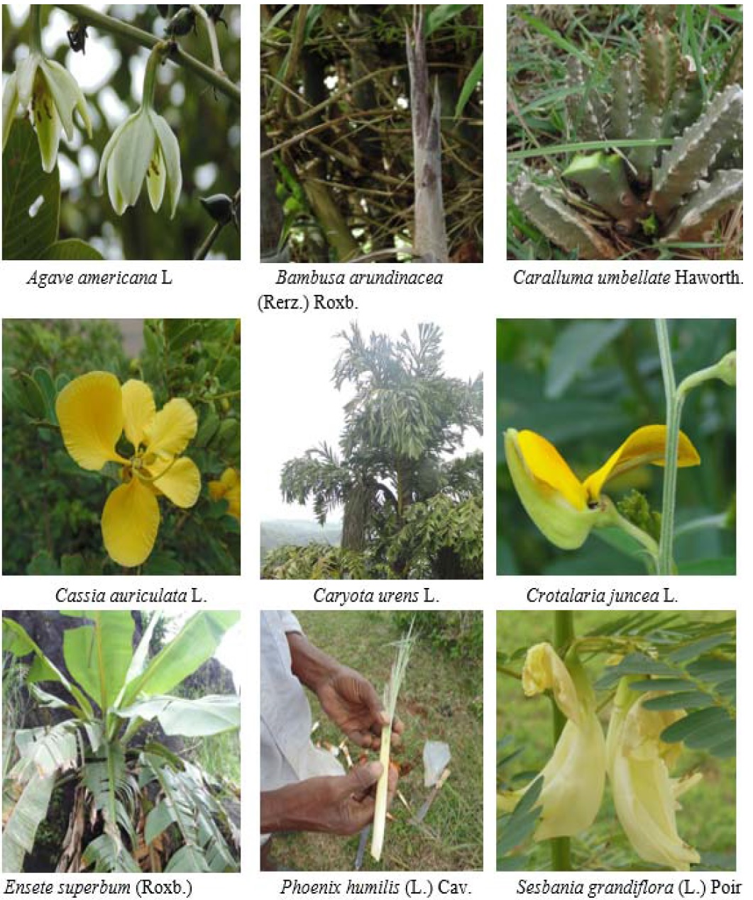 Photographs of less known wild edible plants of Hassan district