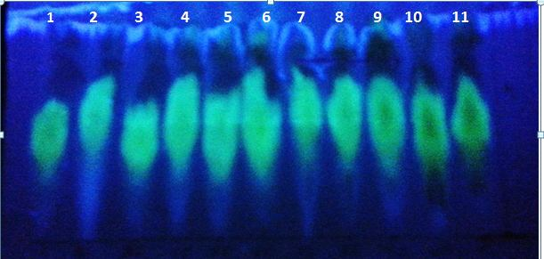 TLC of ethanolic seed extract of flavonoid in Coffea arabica cultivars detected by UV light; 1- jazani, 2- Yemeni, 3-Chinese, 4- Colombian, 5- Habshi, 6- Yafi, 7- Ethiobian Harar, 8- Brazilian, 9- Indian, 10- Kenyan, 11- Brutte