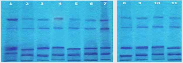 Seed protein bands of Coffea arabica cultivars; 1- jazani, 2- Yemeni, 3-Chinese, 4- Colombian, 5- Habshi, 6- Yafi, 7- Ethiobian Harar, 8- Brazilian, 9- Indian, 10- Kenyan, 11- Brutte