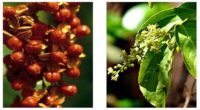 Celastrus paniculatus seeds and flowers.