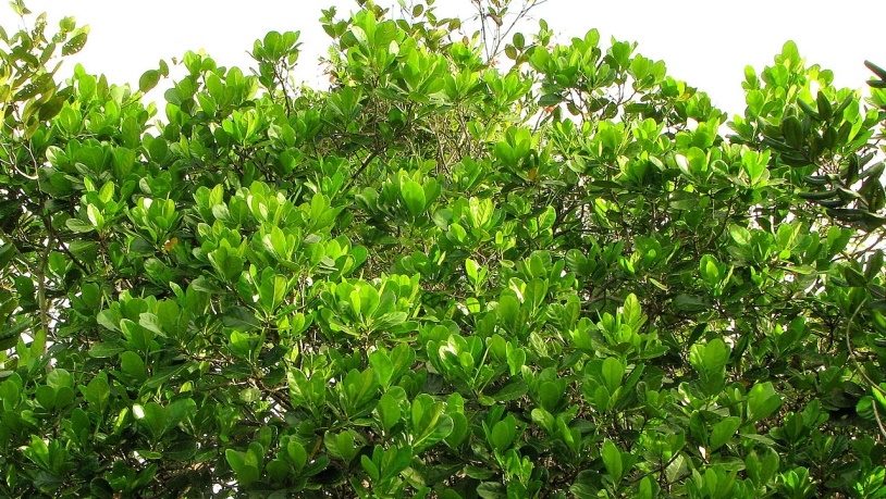 The Richeria grandis Plant