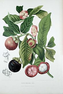 Figure shows the leaves, fruits and seeds of G. mangostana