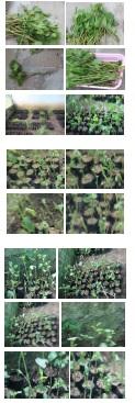 multiplication of Plumbago zeylanica L.