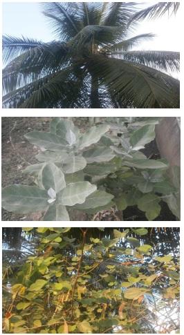Cocos nucifera, Calotropis procera and Bauhinia variegata