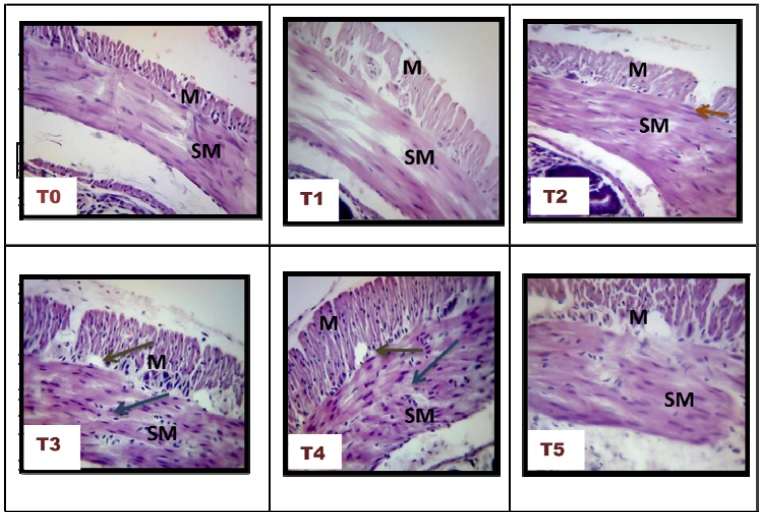 Histological Characterization of Male Albino Mice Colon at Different Experimental Treatments. Stained with H&E. (400x). T0, (control group), T1 (Distilled Water), T2 (25% A. galanga extract), T3 (50% A. galanga extract), T4 (75% A. galanga extract), T5 (Apple pectin). Blue arrows: fibrotic cells; Brown arrows: damage in basal crypt; Orange arrow; Crypt destruction. Mucosa (M); Submucosa (SM).