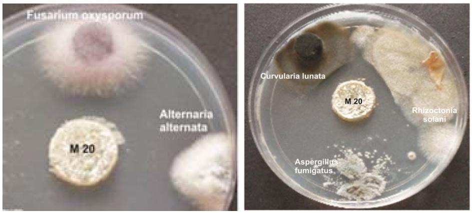 Antifungal activity of isolate M20 by agar plug method
