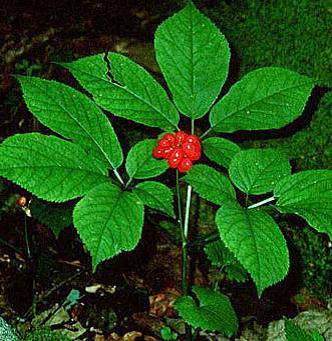 Panax quinquefolius L. (American giseng)