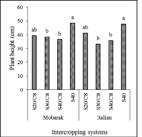 Plant height of sweet basil cultivars (Mobarake and Italian large leaf) in response to different intercropping systems with corn