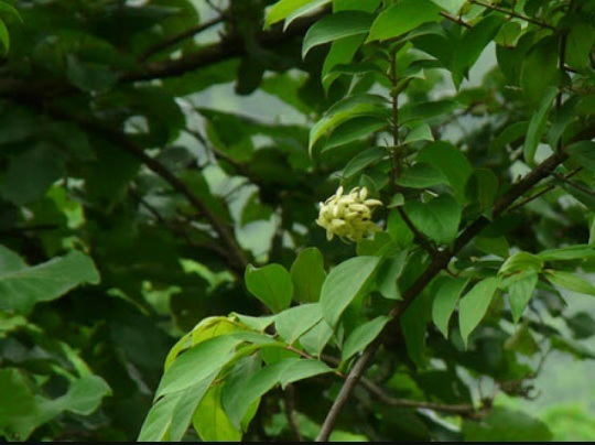Habit of Calycopteris floribunda Lam.