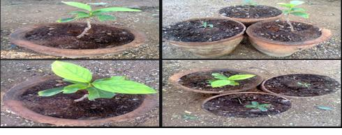 Decalepis hamiltonii planted in Botanical garden, Department of Botany, University College of Science, Saifabad, Osmania University, Hyderabad.