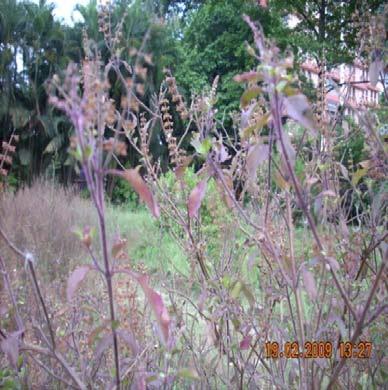 Ocimum calamendrus cerium.(Local name: Krishnatulsi)