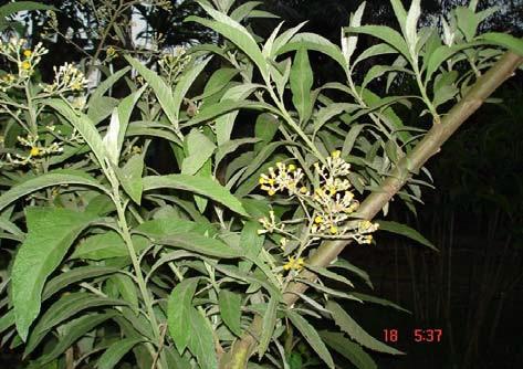 Eupatorium cannabinum L.