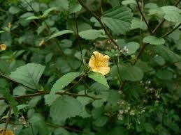 Sida rhombifolia L.(Bagjati)
