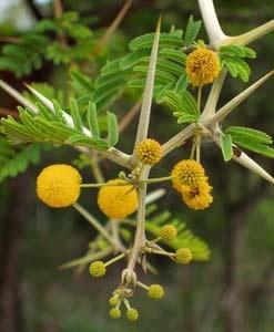 Acacia nilotica (Linn) (Babul)
