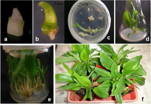 a Shoot tip explant; b & c Shoot regeneration after 3 weeks of LN exposure in MS+0.1 mgl-1 GA3+0.5 mgl-1 BA; d Plantlet production; e Multiplication of LN-recovered shoots in MS+0.5 mgl-1 NAA+2.0 mgl-1 BA; f LN-recovered plantlets
