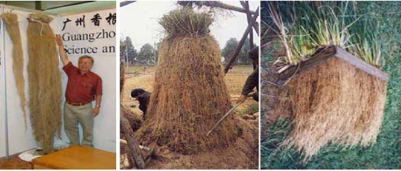 Vetiver roots in soil (left and middle) and in water (right)