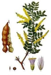 Acacia Senegal (L.) Wild