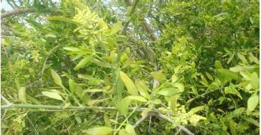 Salvadora oleoides Deone