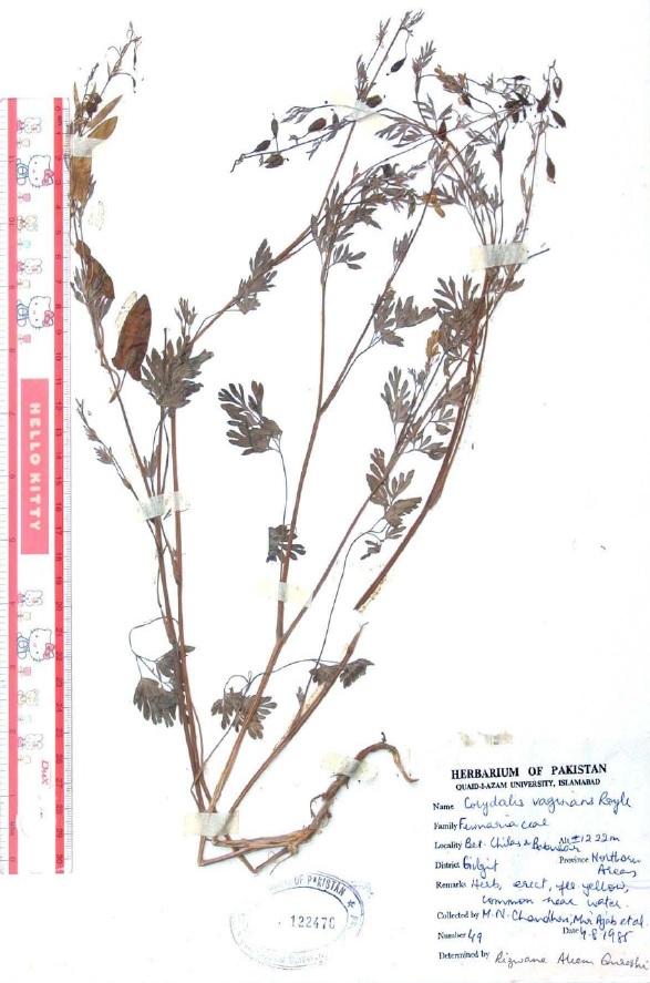 Corydalis vaginans Royle: Flowering and fruiting plant