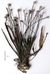 Eriocaulon madayiparens